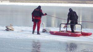 Strażacy uratowali łabędzie