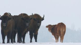 Pamiętacie krowę, która uciekła i dołączyła do stada żubrów? Jest ciąg dalszy