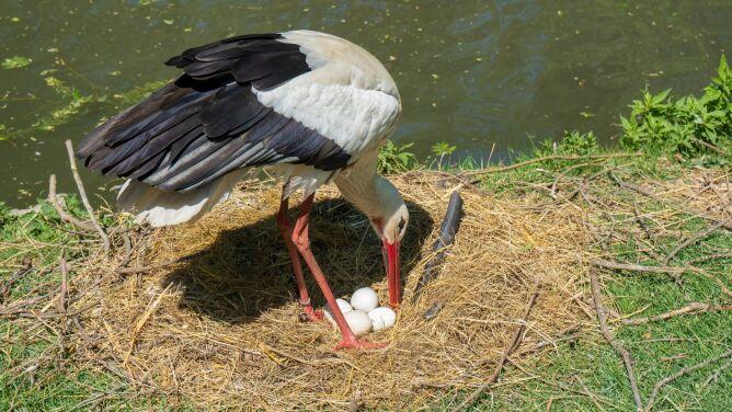 Bociany wyrzucają je z gniazd i to jest naturalne. <br />Co zrobić, gdy znajdziemy jajo